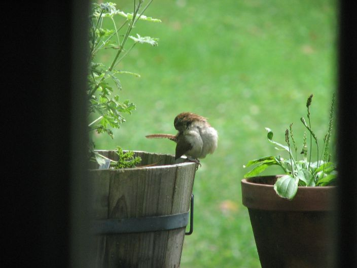 Sparrowonthegeranium