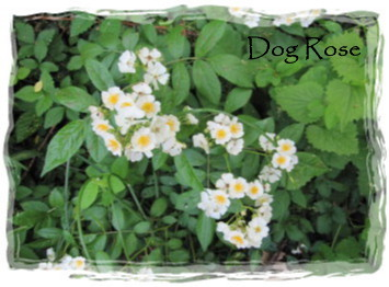 DogRose2