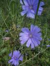Chicory_3